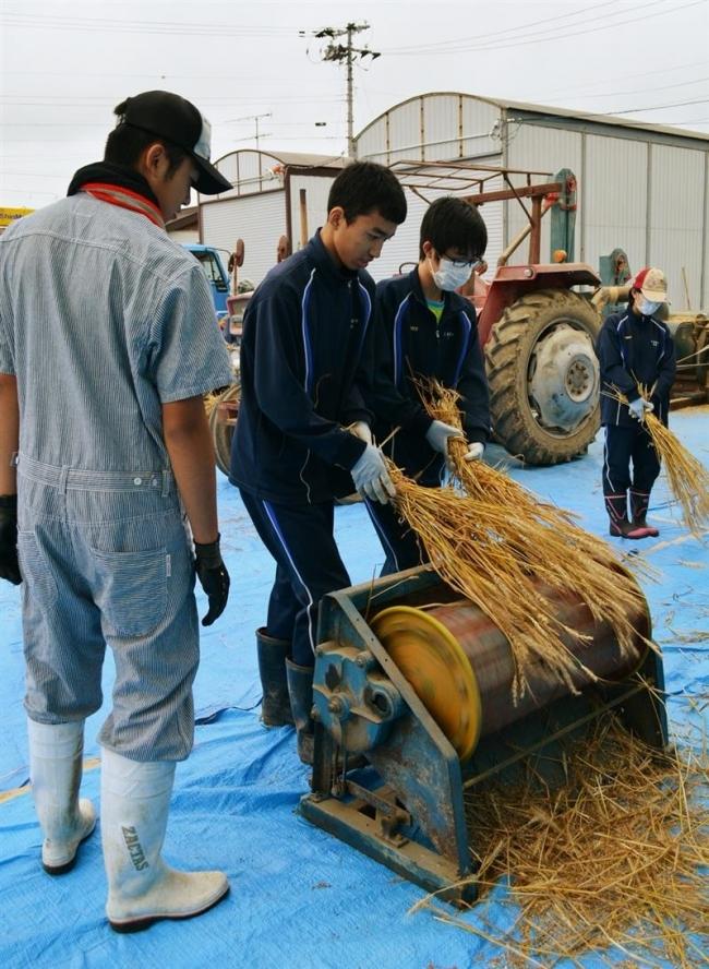 小麦の脱穀に挑戦 上浦幌中生徒