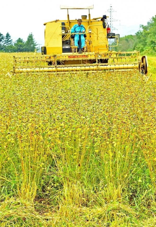 新得町でソバの収穫最盛期 減収も品質に変わりなし