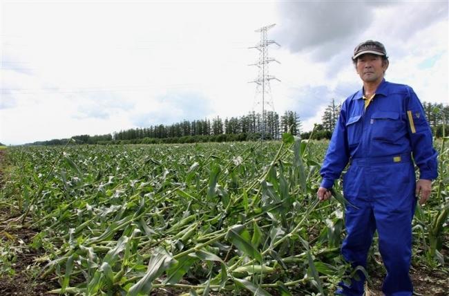 強風で作物倒伏 池田はコーンの大半被害