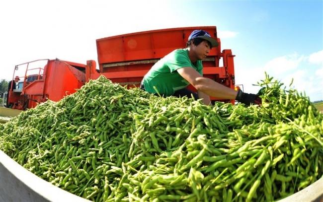 枝豆の収穫ピーク ハーベスターで続々と 中札内