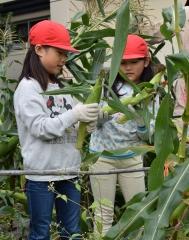 児童がトウモロコシ収穫 粒の観察や実食も 音更小