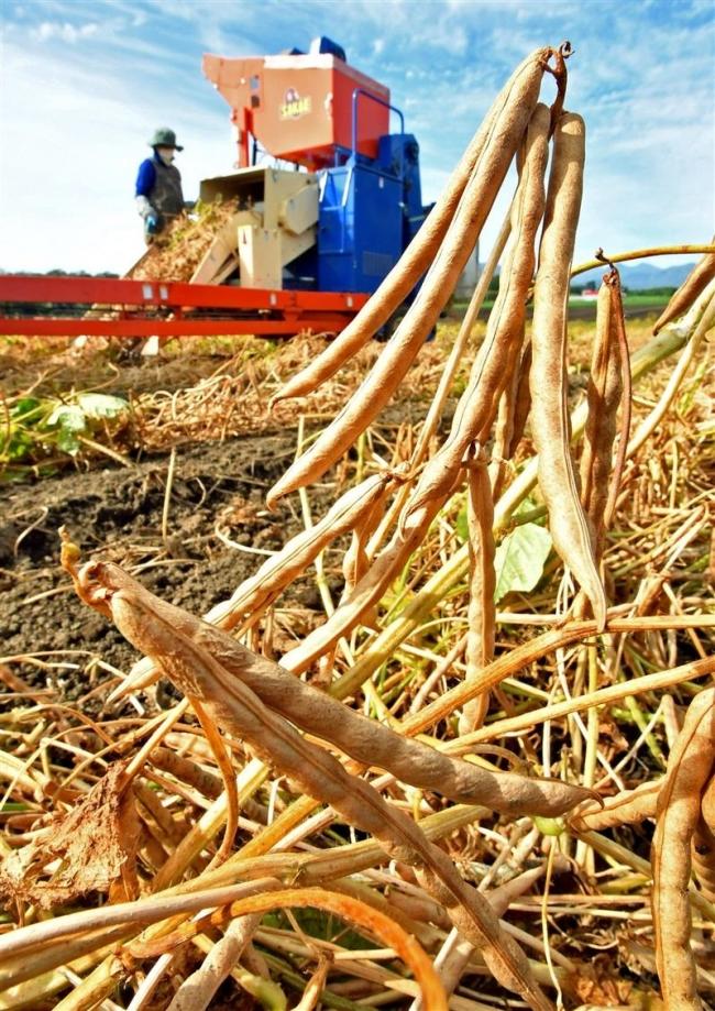 小豆の収穫ピーク 品不足解消に期待
