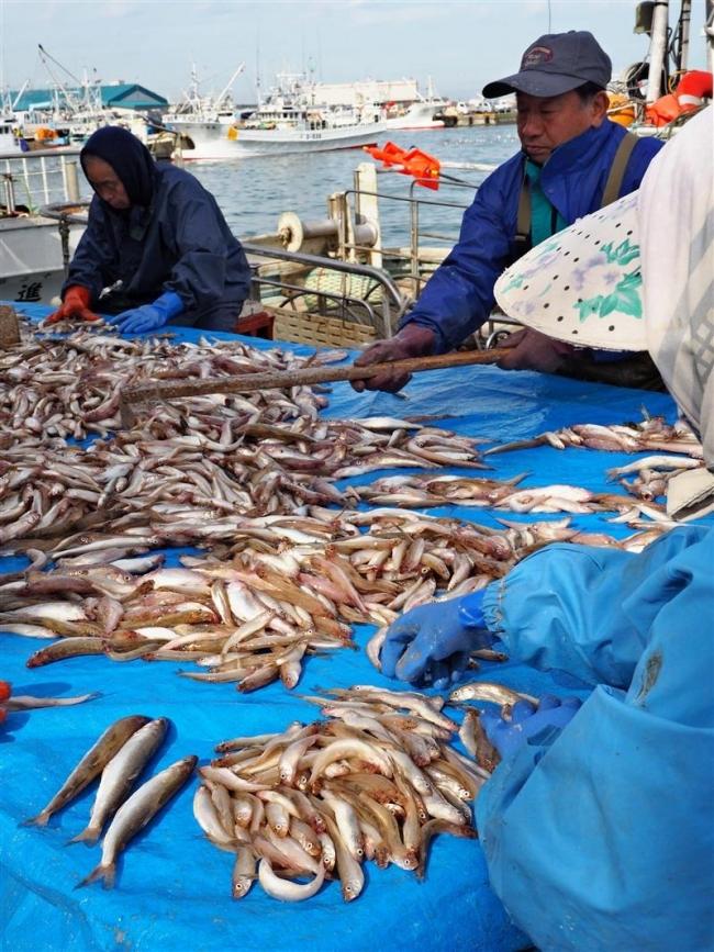 シシャモ漁始まる 広尾