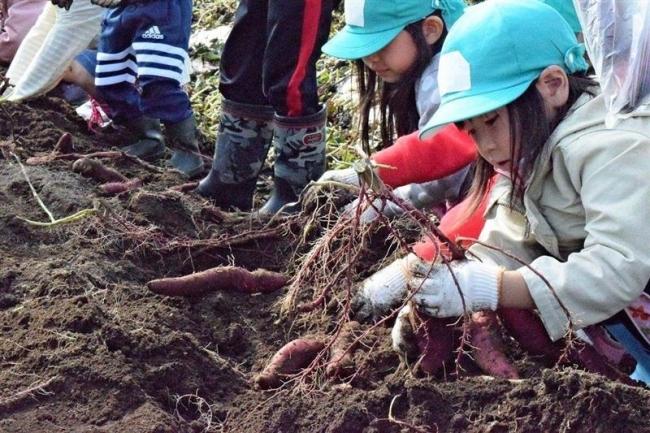 園児らサツマイモ収穫に挑戦 池田
