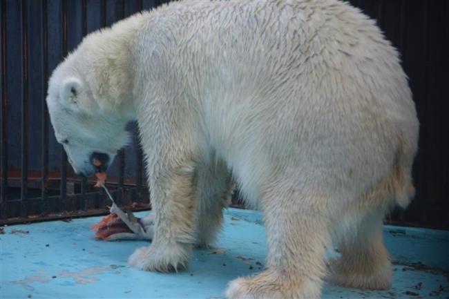 シロクマのアイラ、サケを豪快にがぶり おびひろ動物園