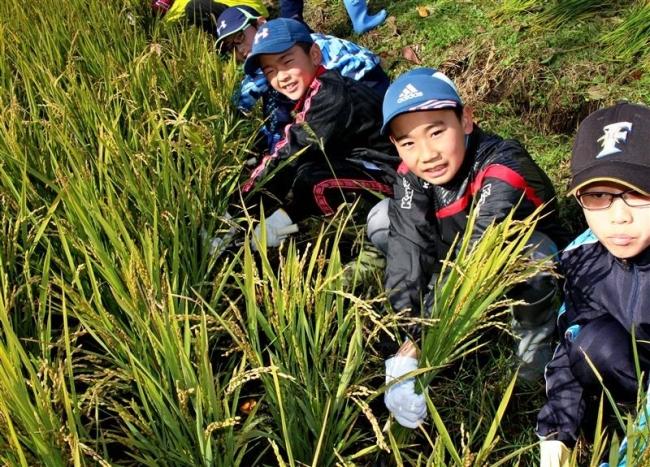 新得小学校で稲の収穫体験