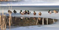 気温上昇、帯広13度 池の氷解け、カモ優雅に