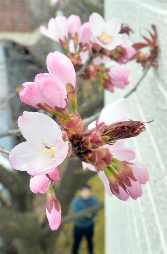 森末整形外科敷地内のサクラ 今年も開花