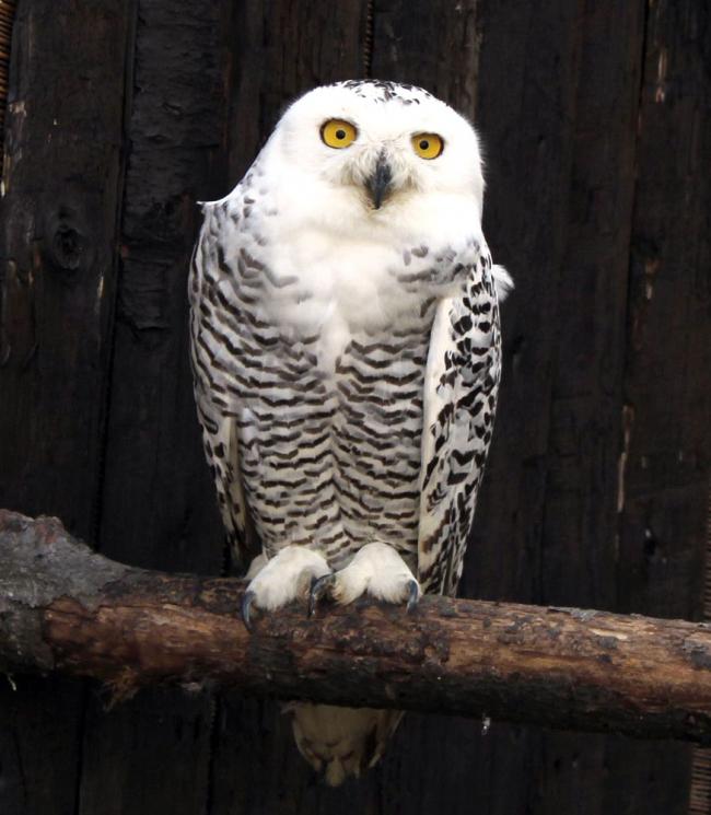 おびひろ動物園、27日に夏季開園 シロフクロウやイイズナ仲間入り
