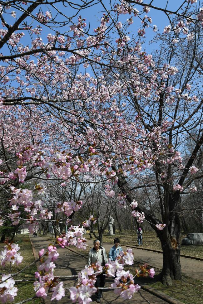 帯広のサクラ開花 平年より6日早く