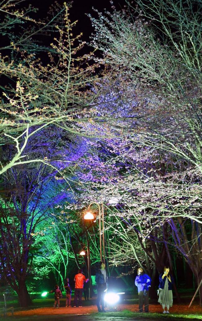音更 夜桜ライトアップ始まる 鈴蘭公園