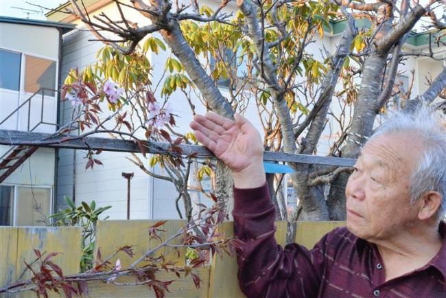 塀に咲く桜 今年も開花 池田