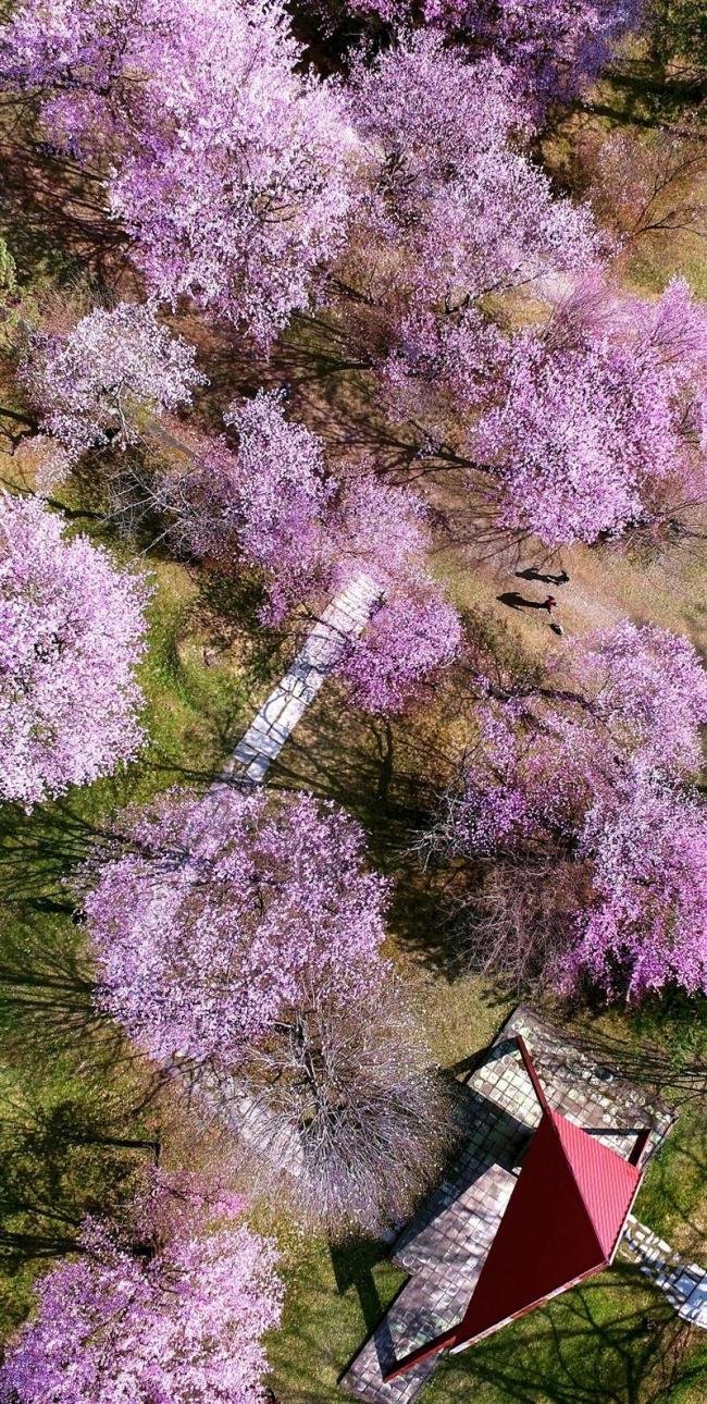 旬景~SORA PHOTO「サクラ色に染まる 帯広・緑ケ丘公園」