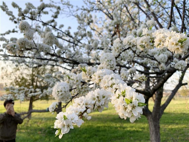 スモモの花が見頃 更別
