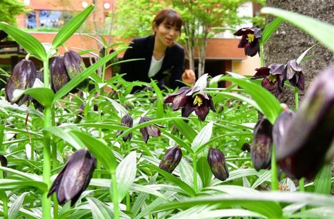 クロユリ 花開き始める 北海道ホテルの中庭