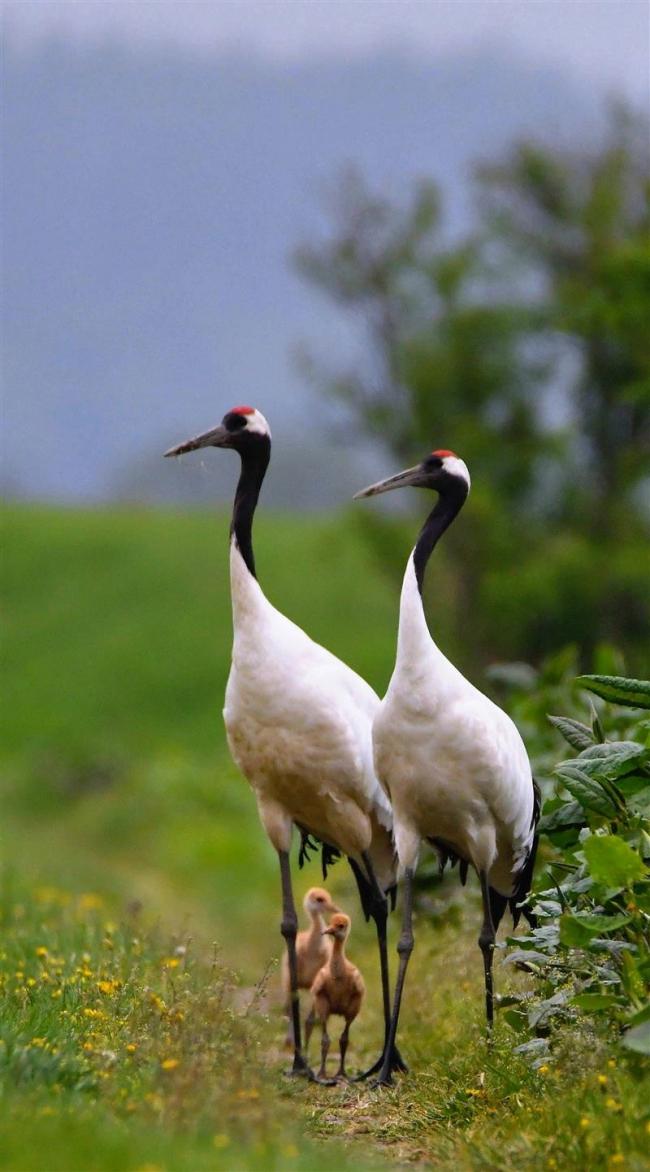 足の間からこんにちは タンチョウのひな鳥すくすく成長