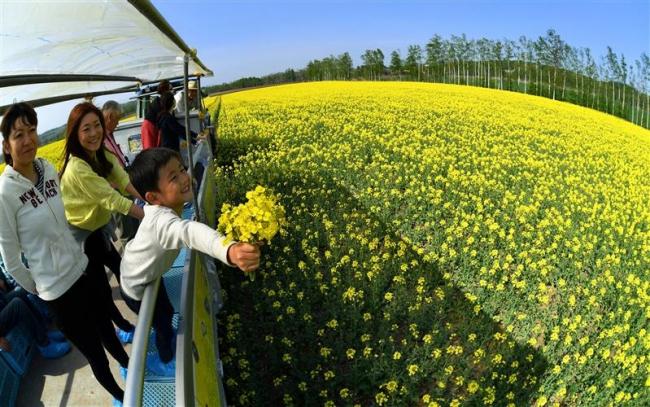 音更 黄色一面の菜の花畑を観賞 黒田農場がイベント