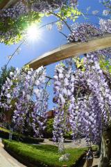 夏が近づく甘い香り 市内で藤棚が見ごろ