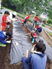 子どもたちの野菜作り進む 十勝ヒルズの「キッズトライ農園」 2