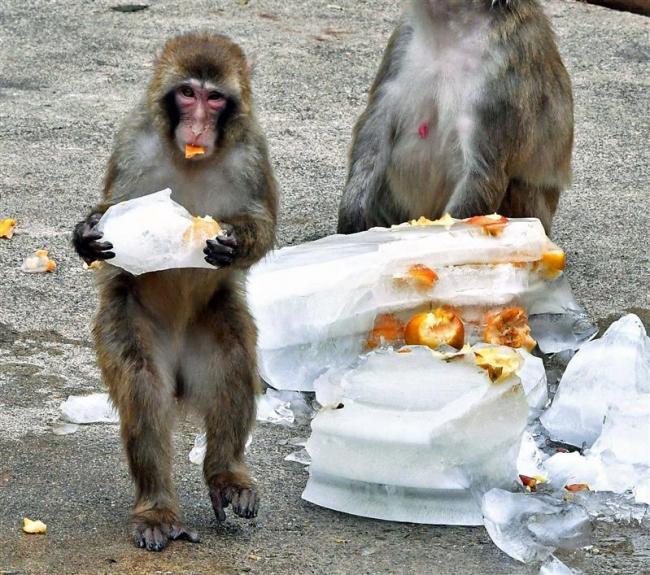 氷リンゴにサルも満足? 動物園で海の日イベント