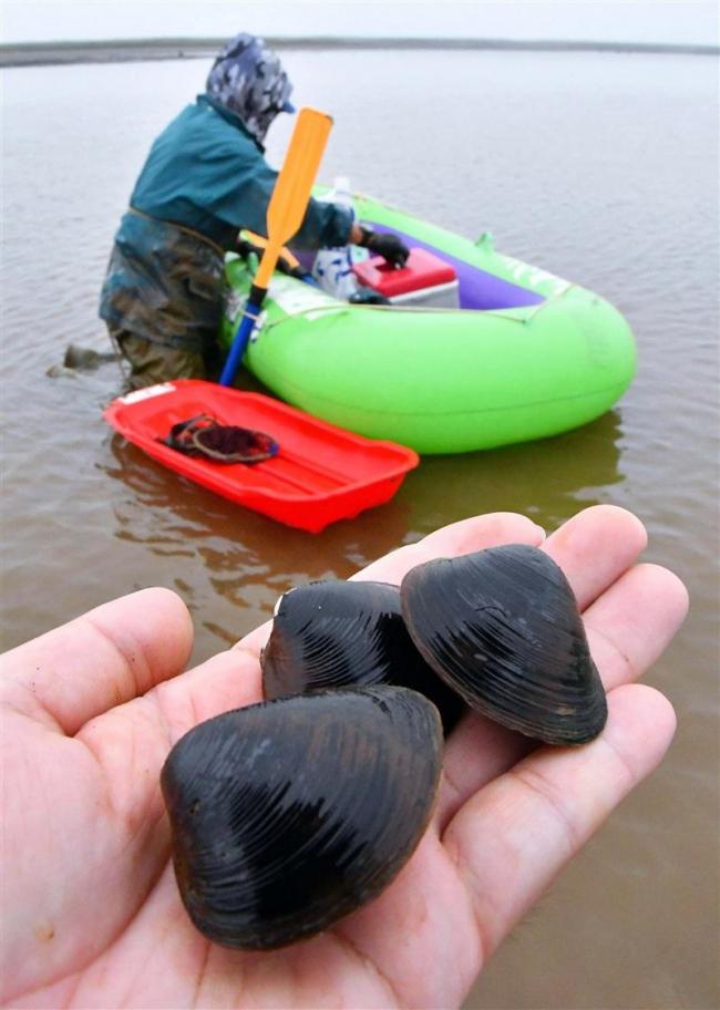 大樹 生花苗沼で特大シジミ採り