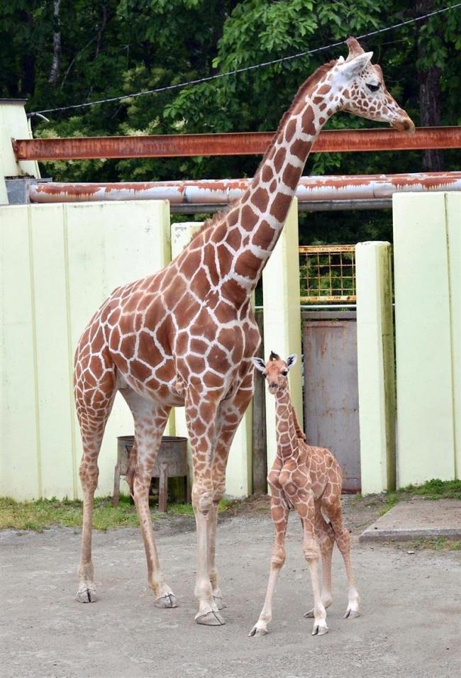 キリンの「スカイ」パパに 釧路動物園で繁殖成功