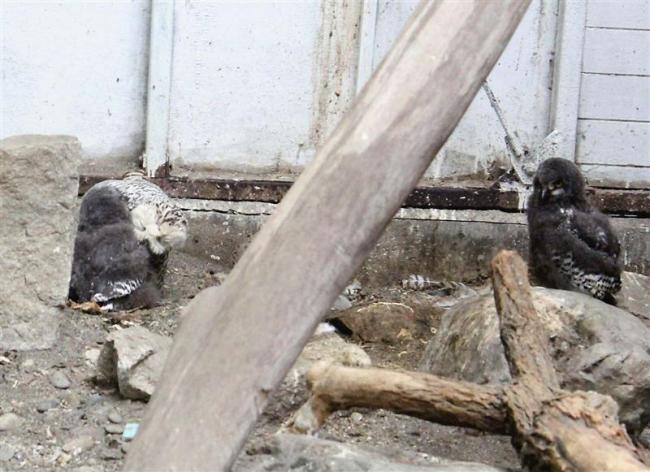 シロフクロウの赤ちゃん7羽誕生 おびひろ動物園