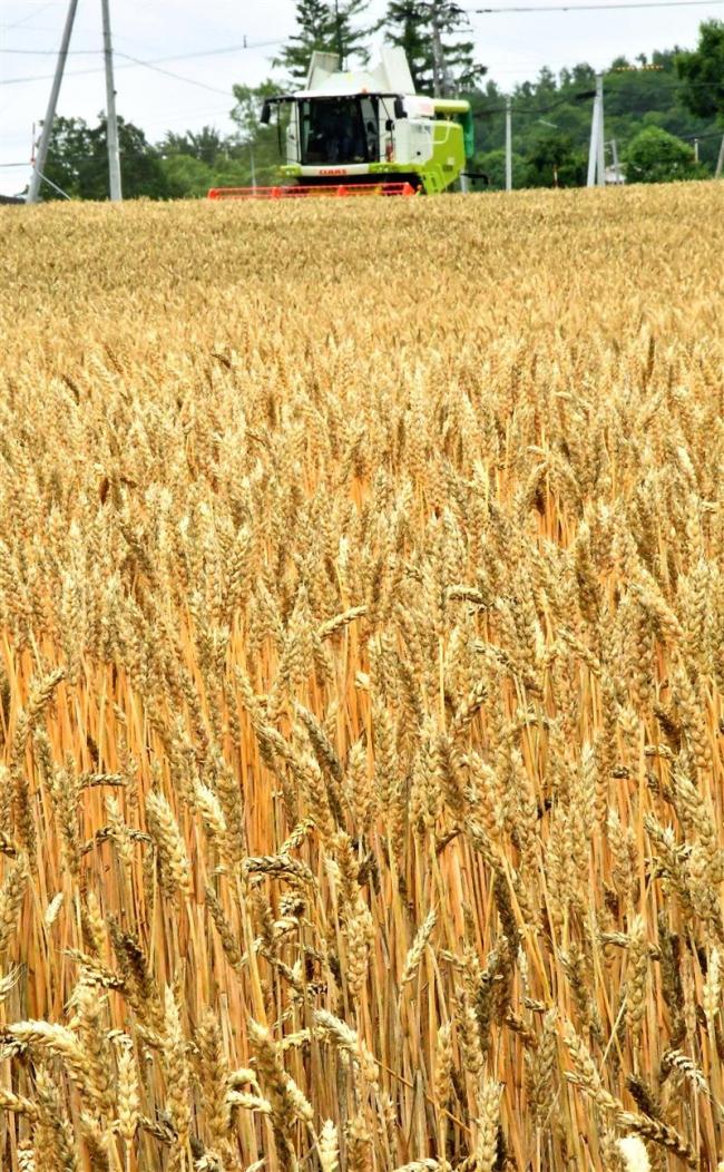 池田で小麦収穫スタート