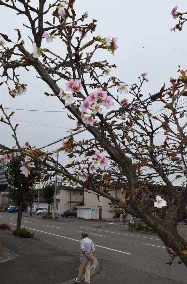 季節外れのサクラ開花2題 帯広の林さんと保前さん宅