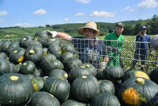 芽室で農福連携スタート 施設利用者がカボチャ収穫