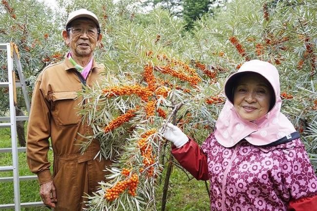 シーベリー豊作 士幌で収穫続く