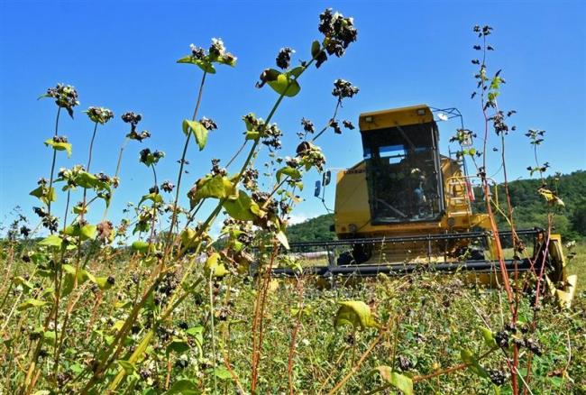 新得で特産のソバ、収穫大詰め