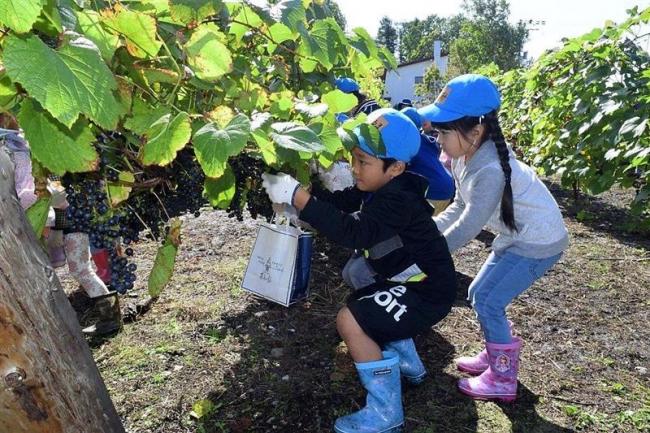園児らブドウ収穫体験 池田