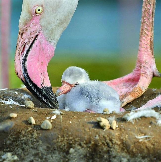 羽は白くふわふわ おびひろ動物園でフラミンゴの赤ちゃん産まれる