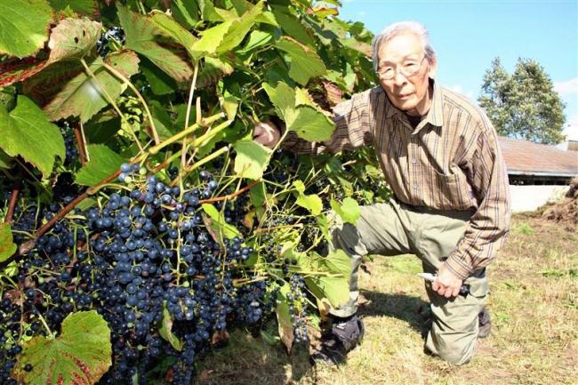 甘いブドウ実る 清水・みかげ堆肥