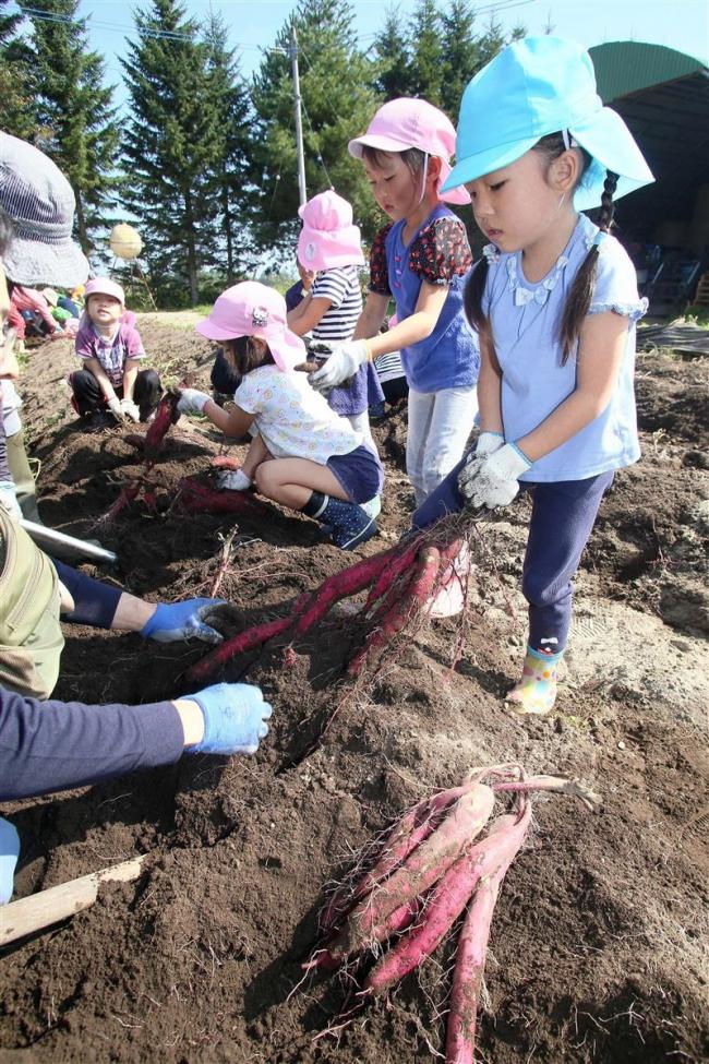 保育園児がサツマイモ掘り 本別