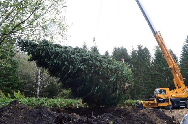 巨大クリスマスツリー用トドマツ 掘り出し札幌へ 広尾