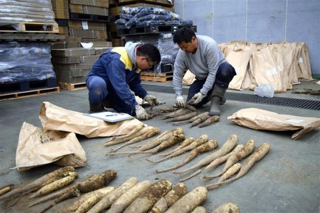 「とかち太郎」で収量1割増 川西ナガイモ作況調査