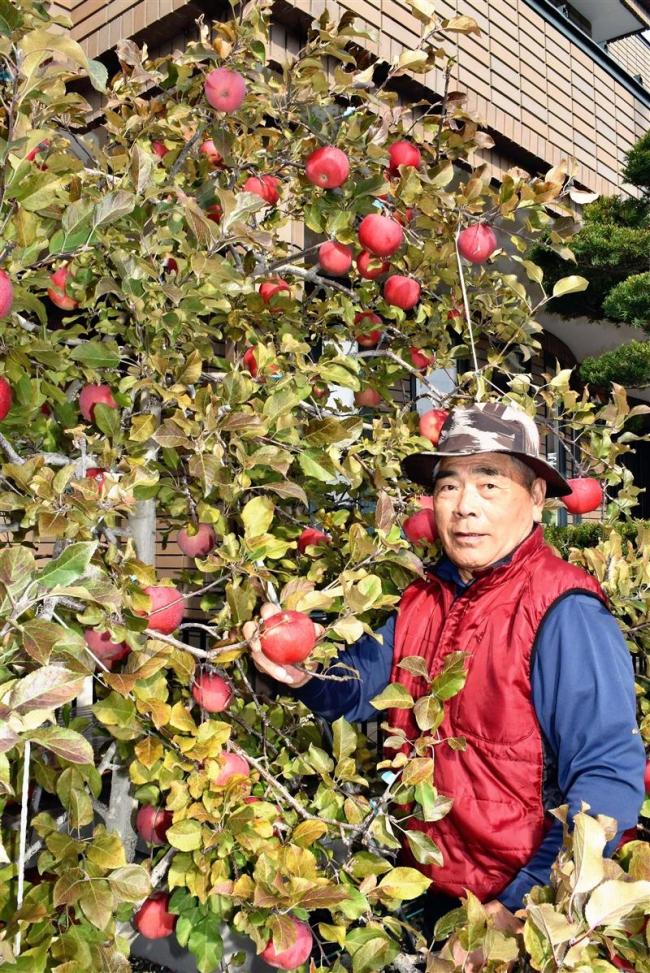 リンゴ「今年は自信作」 幕別の佐々木さん宅