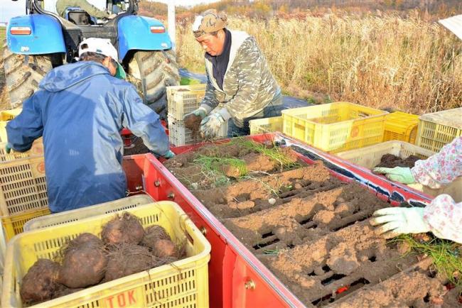 ツクネイモ収穫始まる 池田