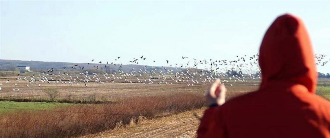 渡り鳥2000羽 浦幌で羽休め