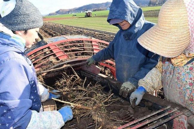 山ワサビ収穫盛ん 池田