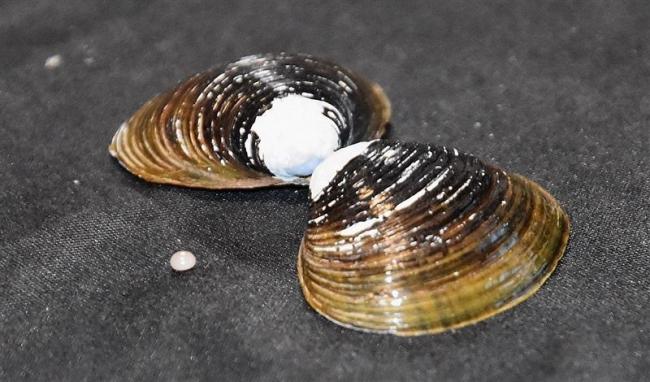こぼれ話「シジミから真珠」