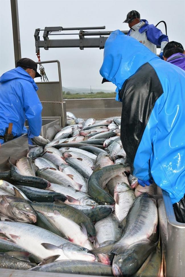 秋サケ漁終了、十勝沿岸は3年連続で不漁