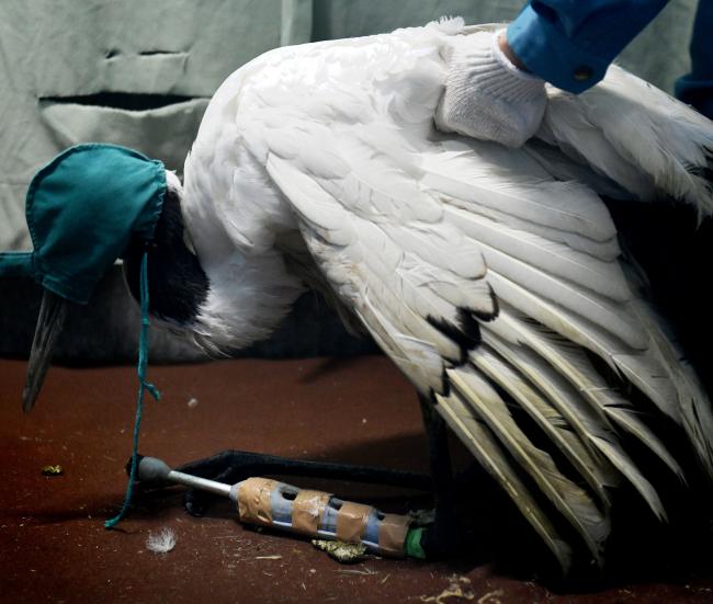 「病棟」は満床 人間に近づきトラブル多発 天然記念物タンチョウ保護の現状【電子版ジャーナル】
