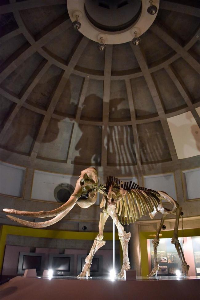 遠景近景(6)「忠類のナウマンゾウ復元骨格」