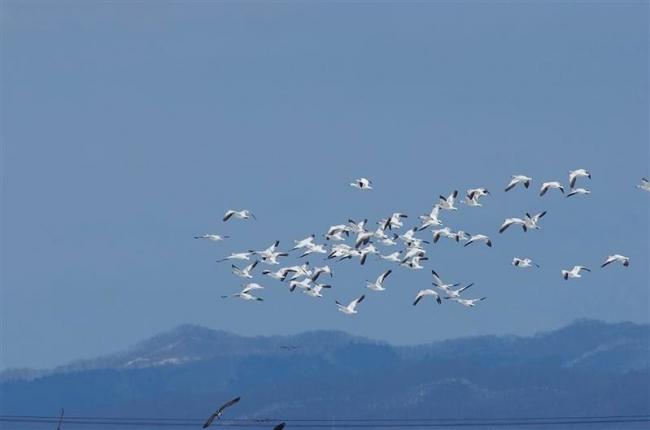 ハクガン飛来 例年より2週間ほど早く 浦幌