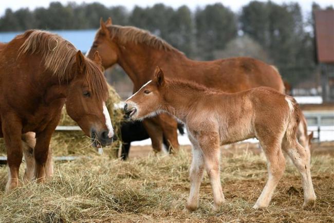 子馬の出産ピーク 家畜改良センター十勝牧場