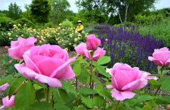 開催に合わせ、色鮮やかなバラが咲いている園内のローズガーデン(金野和彦撮影)