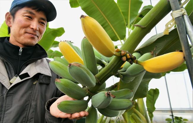 厳寒に南国たわわ 余熱ですくすく 新得のバナナ 音更のマンゴー